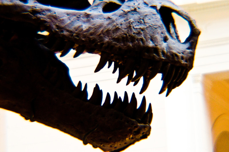 Title: Her Bite<br /> Date: November 2010<br /> A close up of the skull on Sue the T-Rex.