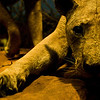 Title: The Ghost and the Darkness<br /> Date: November 2010<br /> Half of the Tsavo Man-Eater Lions, the lions that inspired the movie the Ghost and the Darkness.
