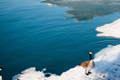 Ice Goose