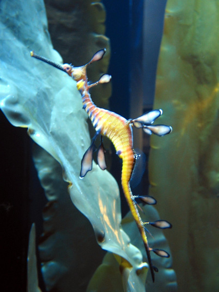 Sea Dragon, Shedd Aquarium