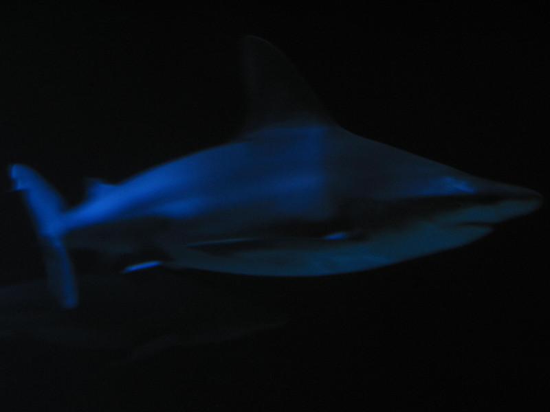 Shark, Shedd Aquarium