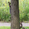 Squirrels at the Spring Valley Nature Sanctuary, Schaumburg, Illinois