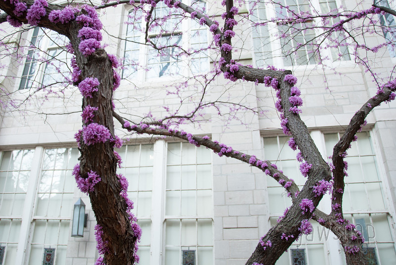 "<span id=""title"">Fuzzy Purple Flowers</span> This fun, fuzzy tree was in between some buildings at the Northwestern Medical campus. My wife's father went to medical school there, so it was fun to see. Unlike the public universities that I'm used to, however, we were not allowed to wander inside any of the buildings."