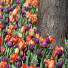 "<span id=""title"">Tulips</span> I was worried we would be too early for tulips, but they were everywhere! Especially along Michigan Avenue - it was gorgeous."