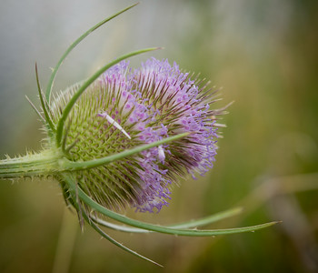 Teasel flower Chichester Harbour