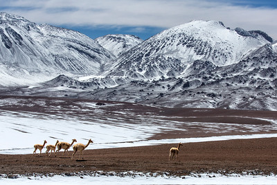 Wild guanacos (llama family) in the Andes