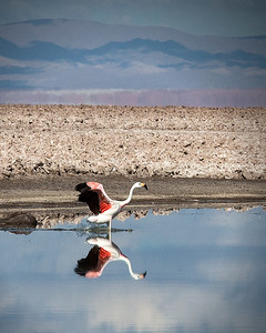 Chilean Flamingo high in the Andes