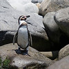 "Humbold pinguin (Spheniscus humboldti) - really a pinguin of the north. Currently this species mainly breeds from Isla Foca (5o12'S) in Peru to Algarrobo (33oS) in Chile. Population sizes of around one million birds are mentioned in the mid 19th century - the numbers gradually diminished and are estimated between 10 and 20.000 birds breeding in Peru and Chile. The Humboldt pinguin is particularly sensitive to El Nino events. The 1982-83 El Nino reduced numbers from around 20.000 birds to 5 to 6.000 birds. A good report on the Humboldt pinguin can be found at this link    <a href=""http://www.cms.int/bodies/ScC/12th_scientific_council/pdf/English/Doc_05_Attach5_HumboldtPenguin_E.pdf"">http://www.cms.int/bodies/ScC/12th_scientific_council/pdf/English/Doc_05_Attach5_HumboldtPenguin_E.pdf</a>"