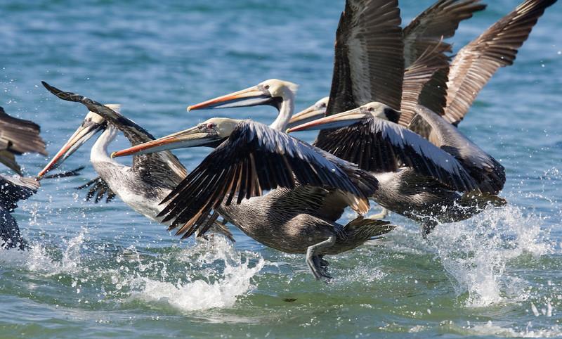 Peruvian pelican (Pelecanus thagus)