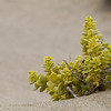 coastal flower - no idea what species...