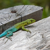 Chile has a great variety of lizards - the green lizard (Liolaemus tenuis) is quite common - especially the male has striking colors