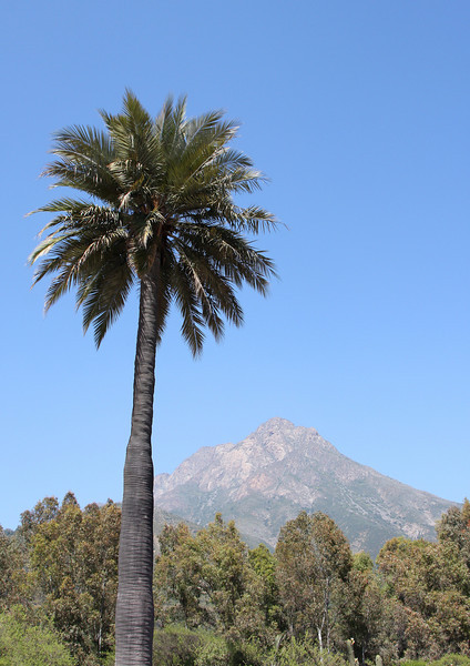 Chilean palm (Jubaea chilensis) with the campana mountain in the background - clearly a bell-shaped mountain indeed. The demise of the chilean palm is due to the sap it contains in its thickened stem. Each spring, palms used to be cut by the thousands to collect the juices which were cooked and used as a natural sweetener and source of alcohol (palm wine)