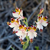 Alstroemeria (Alstroemeria pulchra) in La Campana National Park