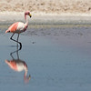 Of the 3 species of flamingos at Chaxa, the puna or James' Flamingo (Phoenicoparrus jamesi) is the least common