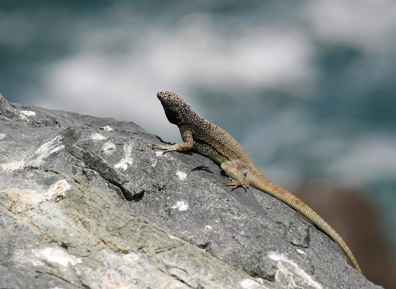 The coast of Pan de Azucar offers good housing for many lizards such as the Microlophus tarapacensis which seems to be strictly coastal - sometimes referred to as Pacific Iguana
