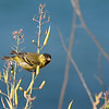 Black-chinned siskin (Carduelis barbatus) male