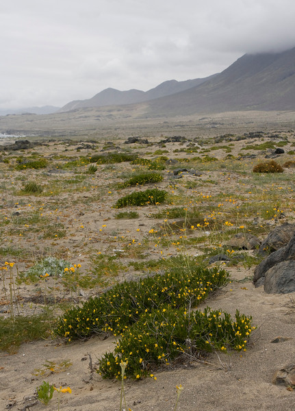 "Since our trip north some additional humidity must have come in since the dunes and the coastal line now had much more flowers than just a couple of weeks before. Although not as impressive as the ""desierto florido"" the blooming dunes did offer a great view"