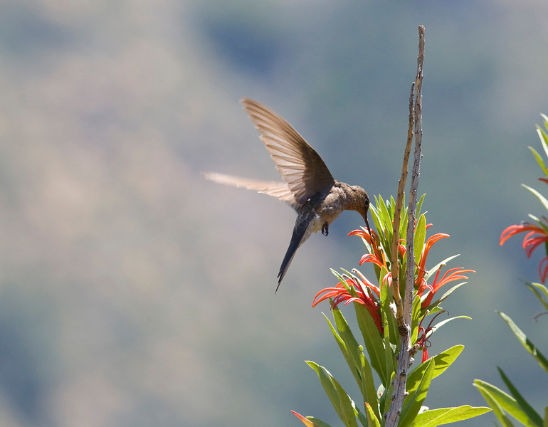 "Giant hummingbird (Patagonas gigas) - in the Campana national park, this bird was feeding on the flowers of the ""tabaco del diablo"" (Lobelia tupa). This hummingbird is about 20 to 24 centimeters big, at least twice the size of ""normal"" hummingbirds."