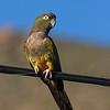 The burrowing parrot (Cyanoliseus patagonus) - size like a small macaw - has become quite an endangered species and a bit of the icon of bird conservation in Chile. The species is protected and a lot of effort is done to bring it back from the brink
