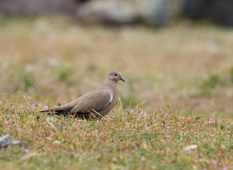 Chile is rich in doves and ground-doves - we saw a troop of about 20 black-winged ground-doves (Metriopelia melanoptera) on a pre-altiplano pasture at an altitude of about 1800 meters. These doves can be seen between 1000 and 4000 meters high.