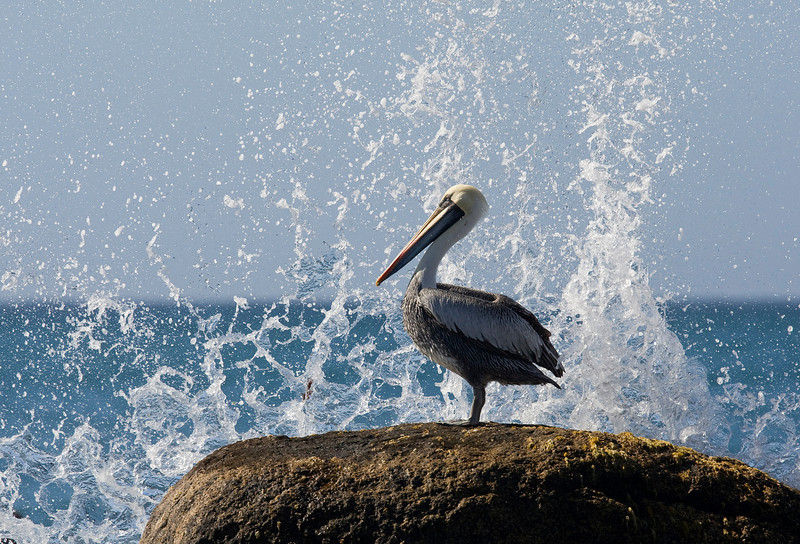 Peruvian pelican (Pelecanus thagus) quite common along most of the Chilean coast