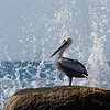 Peruvian pelican (Pelecanus thagus) quite common along most of the Chilean coast