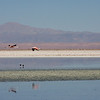 Two andean flamingos over laguna Chaxa