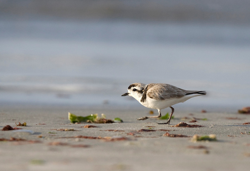 With an estimated coastal line of around 6500 kilometers (compare to all of 65 kilometers for Belgium :-) Chile offers an incredible rich wildlife along its coast. The snowy plover (Charadrius alexandrinus) is a coastal plover which is closely associated with sandy beaches