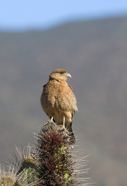 Chimango caracara (Milvago chimango) - since there are no crows or pies in Chile, these birds have taken the ecological role of those birds. These caracaras can be seen everywhere even in busy cities where they will help to clean up the garbage.