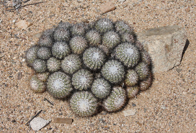 Copiapo cactus (Copiapoa dealbata) in Pan de Azucar national park