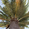 Chilean palm (Jubaea chilensis)