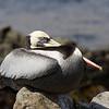 Peruvian pelican (Pelecanus thagus) - here at the caleta de Pan de Azucar