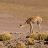 """Vicunas are the """"camelids"""" of the altiplano in northern Chile - they can be seen from about 3000 meters upwards"""