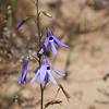 Pajarito del campo (Conanthera trimaculata)