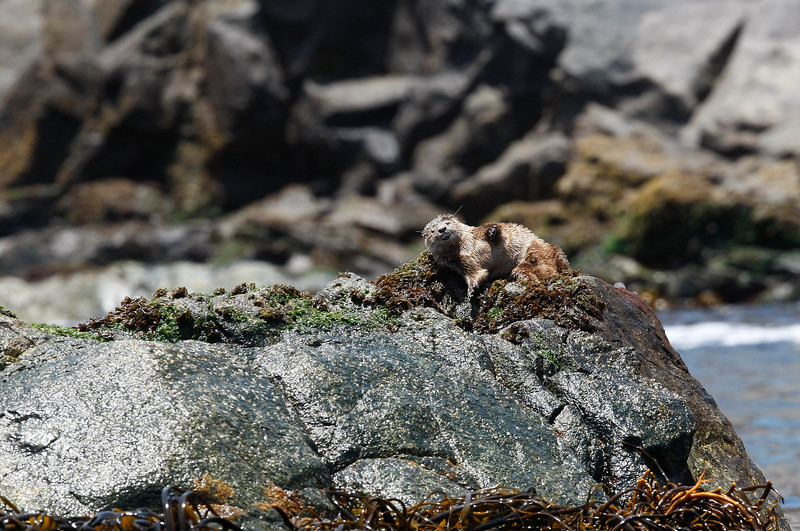 """Marine otters (Lontra felina) can be found all along the coast of Chile - we saw this one basking in the sun on the rocks of Isla Pan de Azucar - more info on these interesting animals on this link   <a href=""""http://en.wikipedia.org/wiki/Marine_Otter"""">http://en.wikipedia.org/wiki/Marine_Otter</a>"""