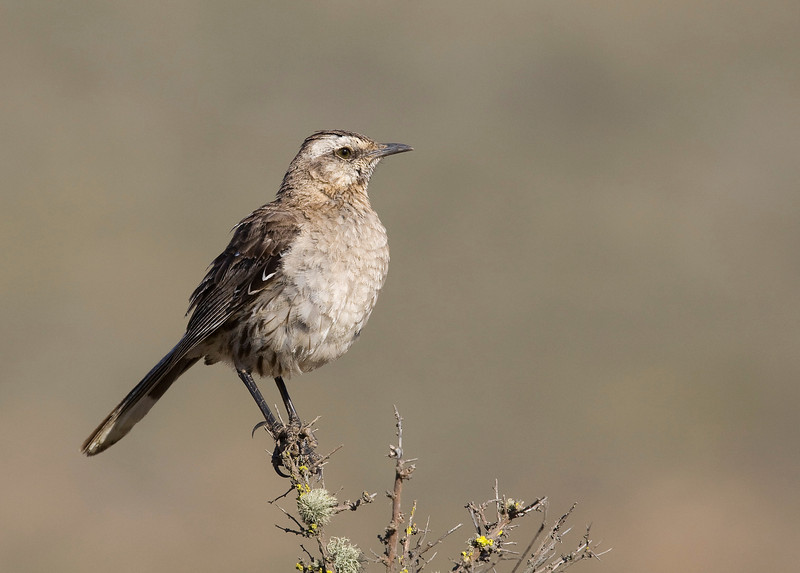 The Chilean mockingbird (Minus tenca) is endemic to Chile - we saw a great number of these birds - way more than during our trip to the south 3 years ago...