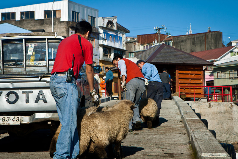 Castro waterfront. These sheep were being bought and sold on the spot, then taken away. They hated leaving their friends and relations.