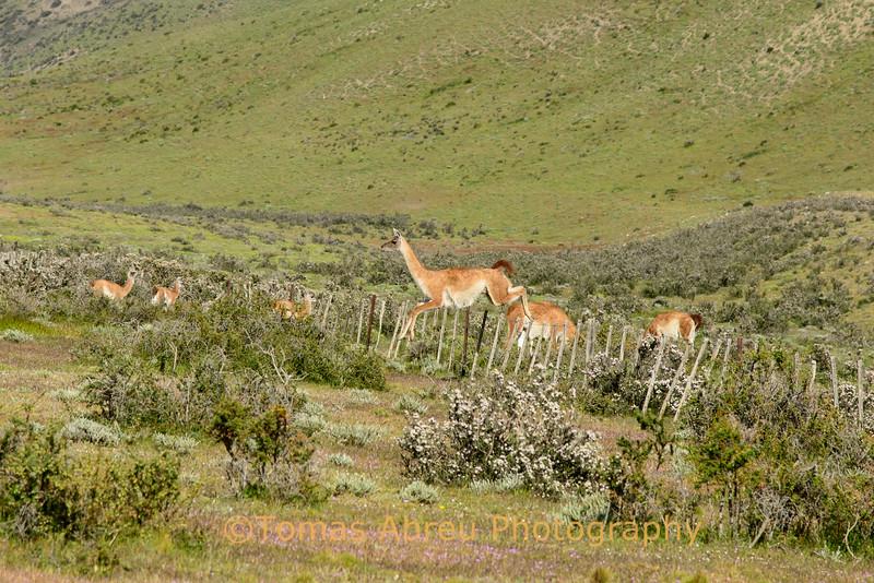 Guanaco, Patagonia, Chile