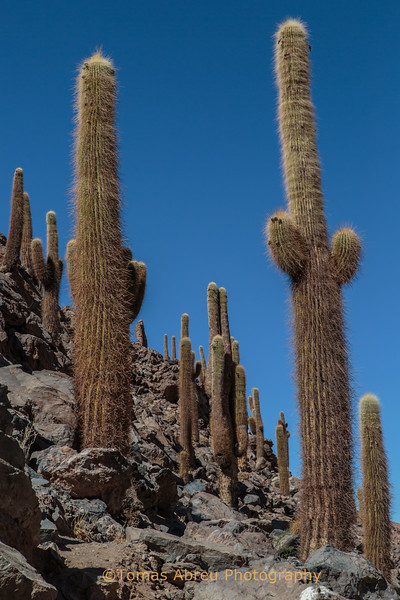 Cardones, Atacama Desert