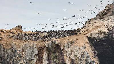 Chilean National Humbolt Penguin Reserve Isla Choros -  Flocking Cormorants