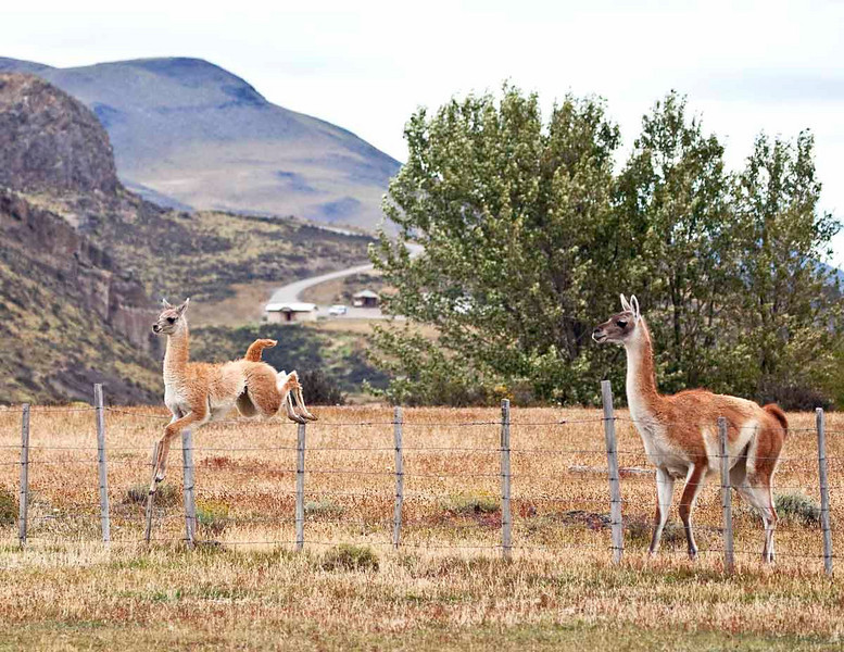 Young guanaco learning to jump the fence.