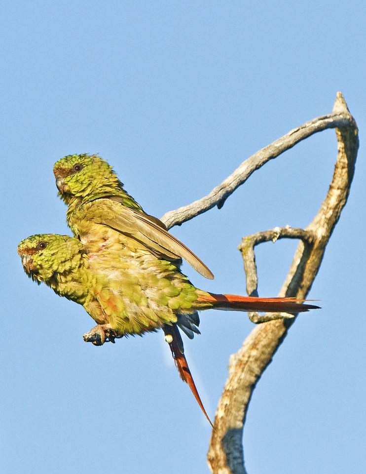 Austral Parroquets.