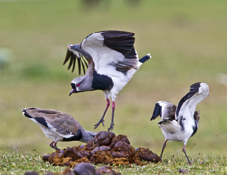 Southern Lapwings fighting for lunch.