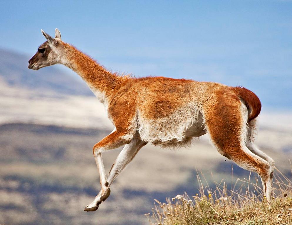 Male guanaco jumping.