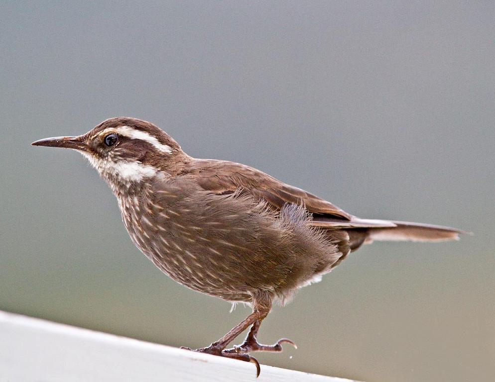 Cinclode patagonicus.