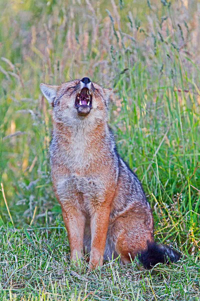 Patagonian Fox.