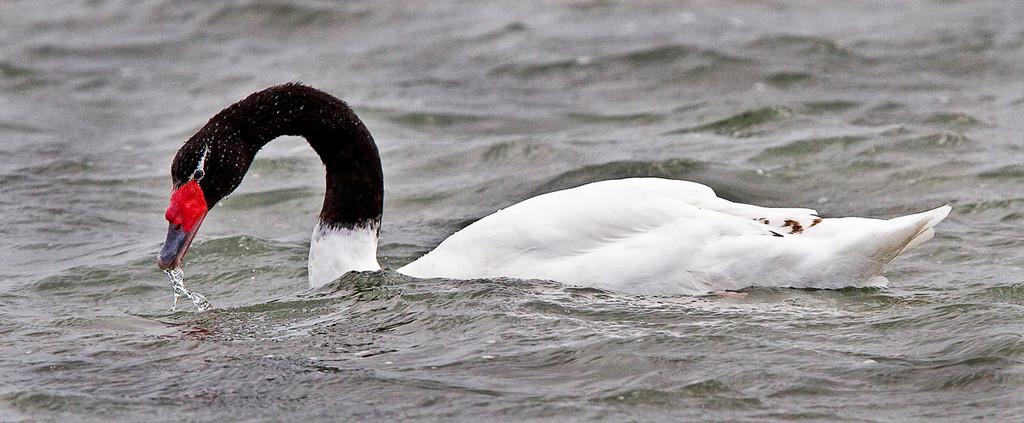 Black-necked swan.
