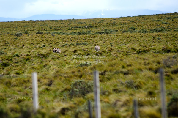 Two rheas in the pampa between Punta Arenas and Puerto Natales, Patagonia, Chile
