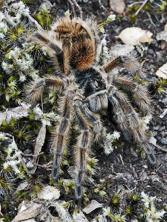 Tarantula in Lake Region between Chile and Argentina.