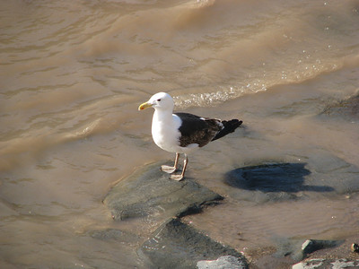 Kelp Gull on river bottom.